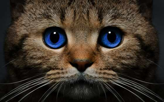 кот, свет, взгляд, морда, голубые, кошки, картинка, zhivotnye,