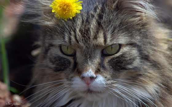 кот, одуванчик, кошки, одуванчиках, цветы, desktop, морда,