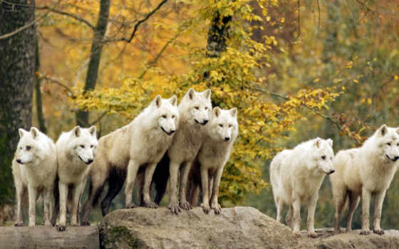 лес, hello, full, чудес, сказок, волк, волки, овцы, животных, video,