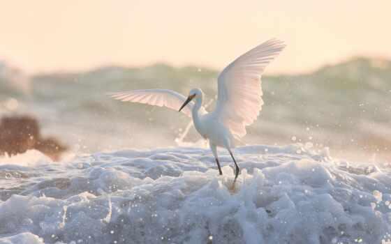 egret, птица, white, американский, animal, крыло, цапля