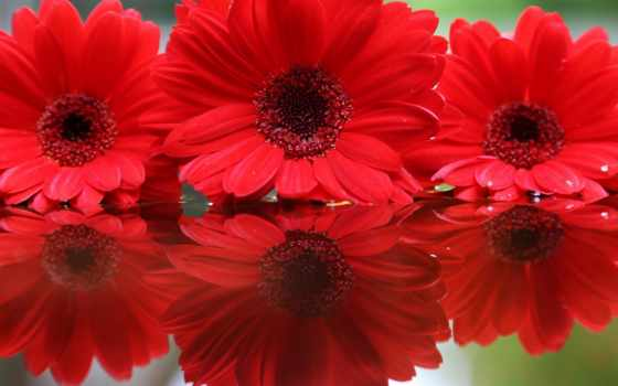 герберы, цветы, kwiaty, czerwone, odbicie, трио, отражение, макро,