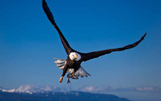 белоголовый, орлан, птица, hunting, fish, extraction,