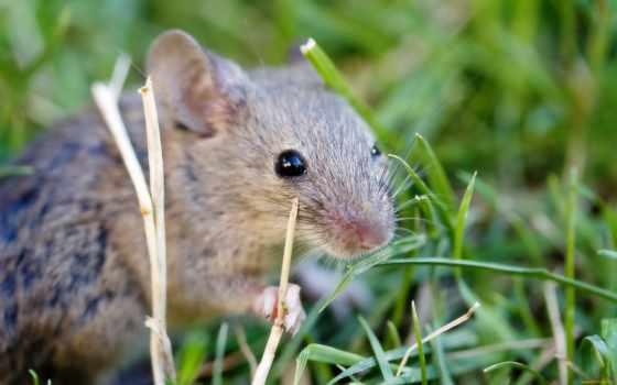 mouse, серая, обыкновенная, zhivotnye, совершенно, ус, rewalls,
