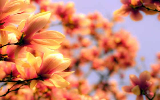 flowers, оранжевый, цветы, весна, азия, magnolia,