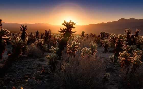 природа, кактус, пустыня, медведь, восход,