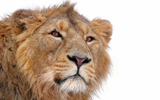 lion, грива, белом