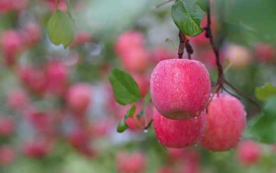 яблоки, ветка, розовые