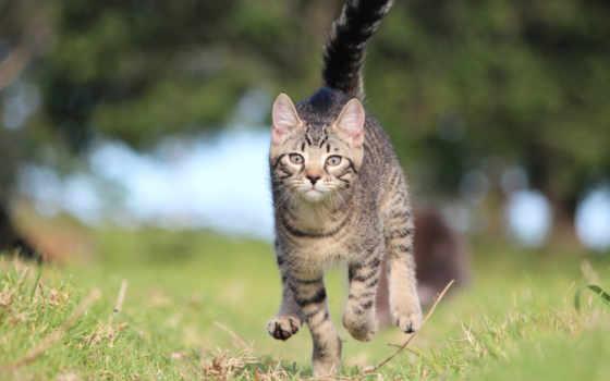 kot, бежит, зеленой, полосатый, траве, серый, бег,