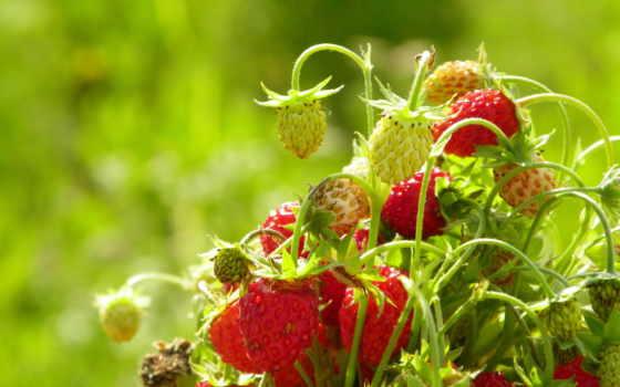 summer, клубника, макро, природа, ягоды, летние, заставки, страница, cvety, трава,