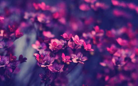 cvety, красивые, фиолетовые, пионы, природа, розовые, slave, цвета, purple,