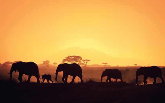 fone, закат, zhivotnye, full, desktop, слон, черном, слонам,