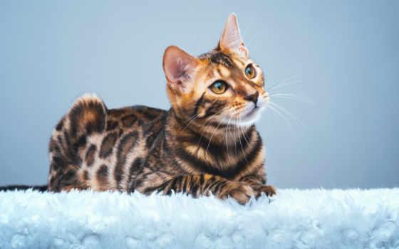кот, бенгальский, home, permission, ложь, красивый, iphone, high, качество