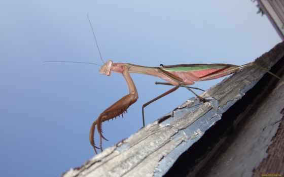 насекомое, mantis, дек
