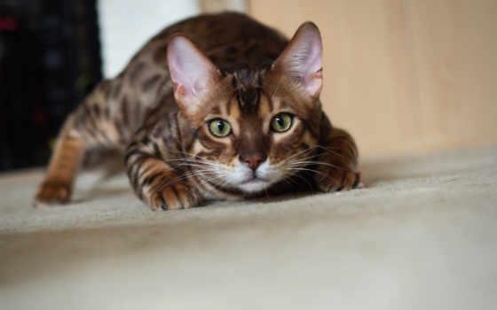 бенгальский, кот, охотится, крадется, zhivotnye, котэ,