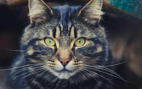 кот, свет, striped, взгляд, one, морда, click, zhivotnye, красивые, кошки,