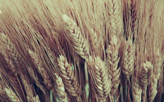 пшеница, колосья, природа, сноп, margin, серьги,