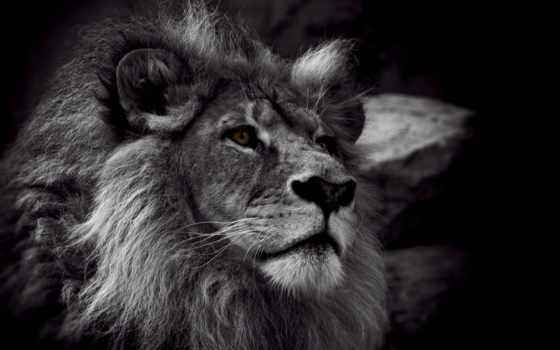 lion, white, чёрно