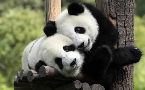 день, панда, тематика, объятие