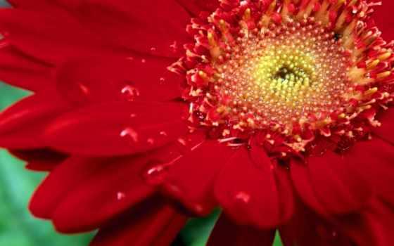 цветы, красная