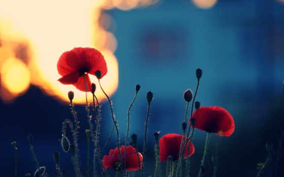 маки, priroda, cvety