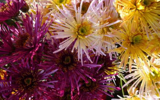 цветы, вино, chrysanthemum, chrysanthemums, хризантемы, color, картинка, white, страница,