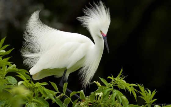 птицы, птица, цапля, белая, красивые, красная, zhivotnye, животных, заставки, свиристели, их,
