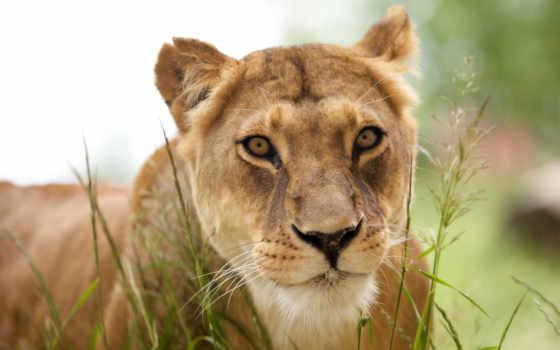 львица, красивая, африка