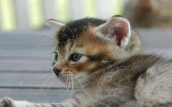 котенок, blue, лежит, кот, подборка, кошками, заставки, дневник, голубоглазый,