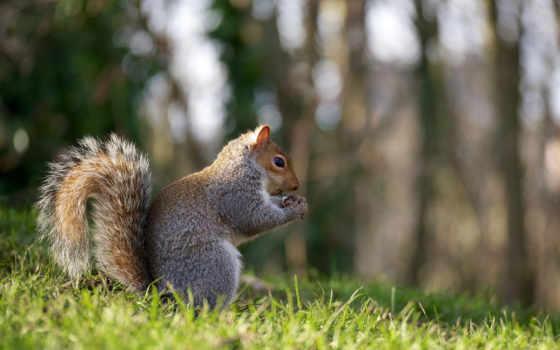 белки, белочка, rub, пушистая, tail, рыжая, zhivotnye, орех, белки, траве,