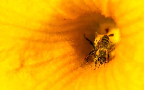 honeybee,