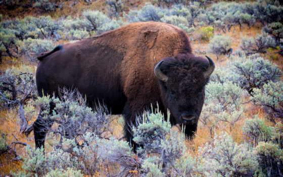 бизон, американский, desktop, фон, animal, буйвол, animals,
