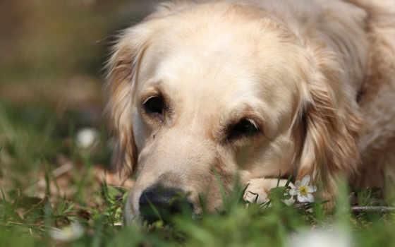 retriever, золотистый, грусть, perros, windows, собака,