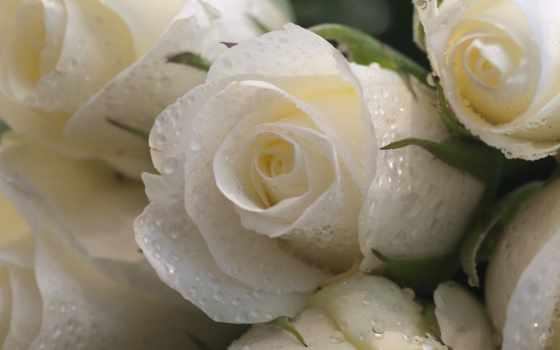 розы, белые, капли,