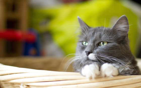 кот, серый, лапки, белые, корзина, белыми,