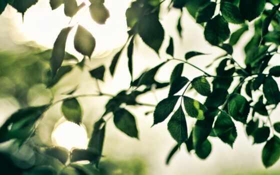 лист, branch, musky, garden, mancera, summer, листва, природа, запах, sun