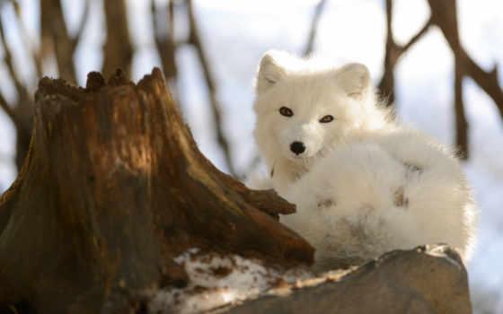 fox, arctic, зима