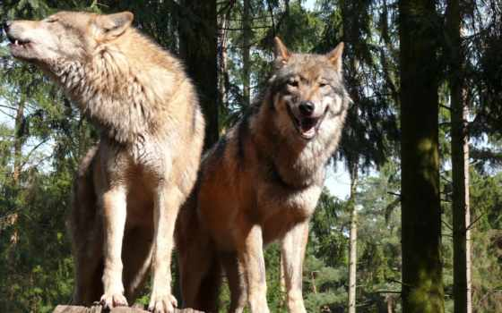 волки, волк, kolohostru, овцы, мужчина, waters, когда,
