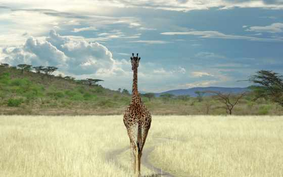 жираф, giraffes, baby, об, pinterest, cute, more, see, african, world,