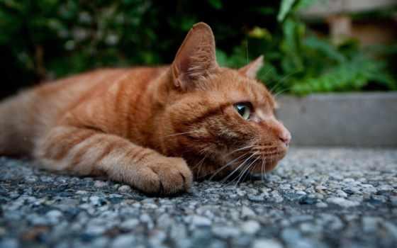 red, кот, котэ, лежит, широкоформатные, лапы,