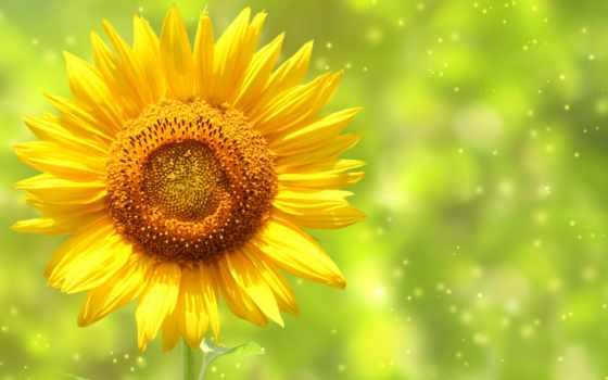 подсолнух, подсолнухи, стебель, лепестки, боке, высоком, cvety, качестве, небо,