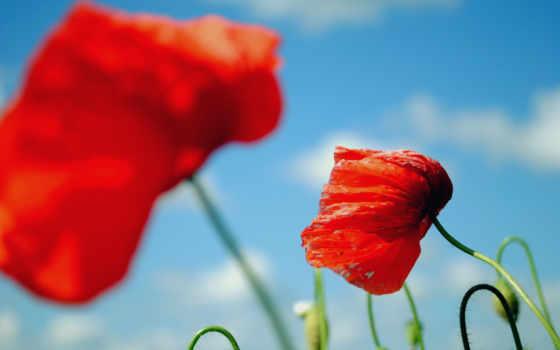 cvety, маки, полевые, макро, poppy, маки, red, лепестки, дек, зелёный,