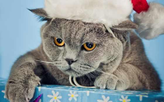 кот, британец, шапка, серый, новогодняя, box, angry, морда, новый год, кота,