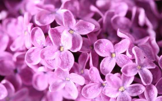 сиреневый, цветы, весна