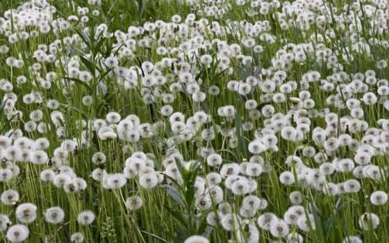одуванчики, поле, природа