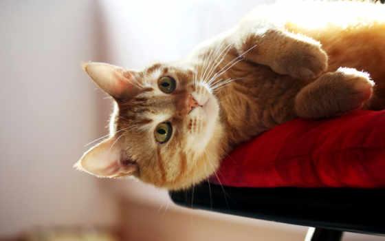 red, кот, взгляд, высоком, rub, размытость, зеленоглазый, кошки, capa, нояб,