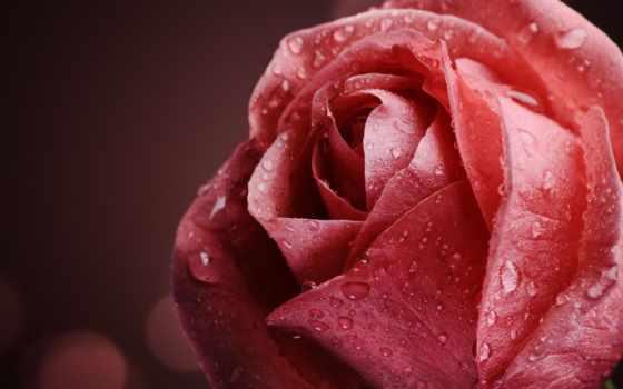 роза, макро, капли, розовая, цветы, cvety, роса, розы, water,