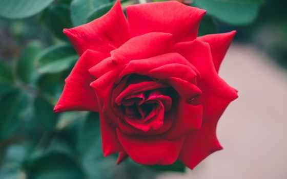 roses, you, red, роза, rosas, love, garden, vermelhas, free,