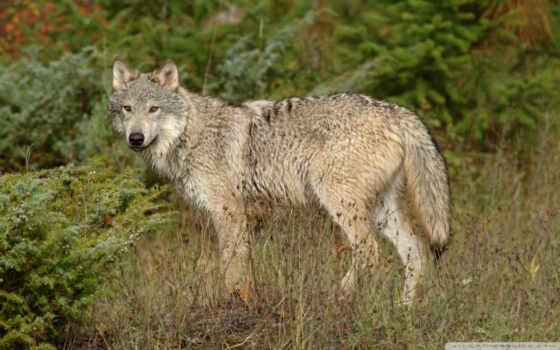 волк, животные