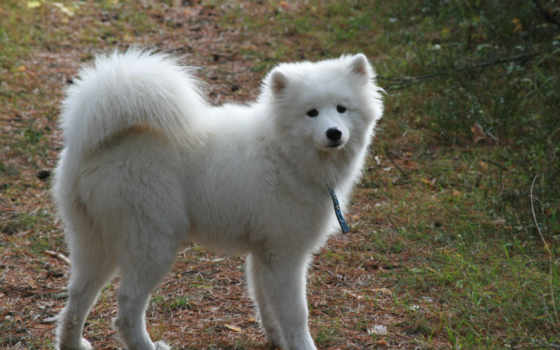 собака, самоед, белая