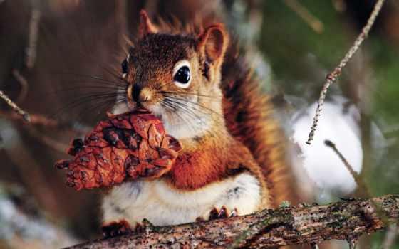 белки, cone, рыжая, снегу, шишку, бурундук, держит, красивые, zhivotnye, сук, стоит,